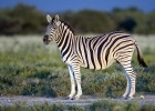 Zebra | Recurso educativo 773461